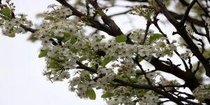 Ağaçların Erken Çiçek Açmasına Bordo Bulamaçlı Önlem