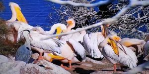 Ak Pelikanlar Amasya'ya Yine Erken Geldi