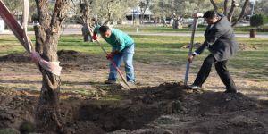 Aliağa Belediyesinin Hedefi 5 Bin Zeytin Ağacı