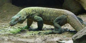 Endonezya'da kaçak Komodo ejderi operasyonu