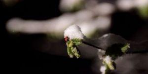 Yeşillenen Fındık Dallarının Üzerine Yağan Kar Ve Soğuk Hava Üreticiyi Tedirgin Ediyor