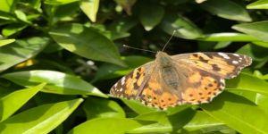 Portakal bahçeleri binlerce kelebekle doldu
