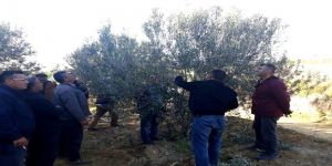 Zeytin Ağacı Budamasını Uzmanından Öğreniyorlar