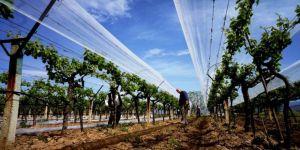 Sarıgöl'de Üzüm Bağları Doluya Karşı Örtülüyor