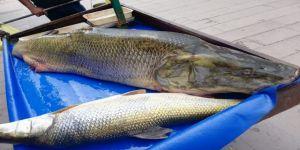 Çayda yakalanan 120 kilogramlık balık görenleri şaşırttı