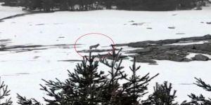 Sarıkamış Kayak Merkezi'nde Kurt Görüntülendi