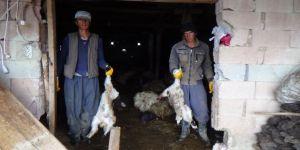 Kurtlar 79 koyunu telef etti