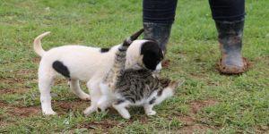 Pitbull İle Kedilerin Dostluğu
