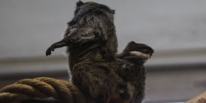 Sakallı Maymunların İkinci Yavru Heyecanı