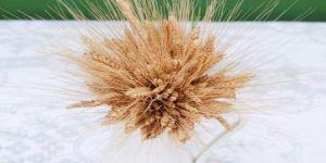 Siyez Buğdayı'nın serüveni belgesele konu oldu