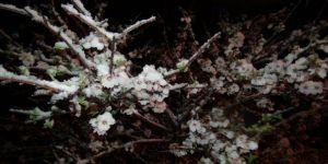 Mart'ta Çiçek Açan Kayısıyı Nisan'da Kar Vurdu