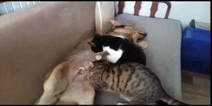 Anne köpek kedileri emziriyor
