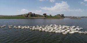 Frigya'nın yeni konukları Pelikanlar