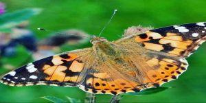 Ordu'da 'Diken Kelebeği' Açıklaması