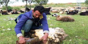 Koyun kırma sezonu başladı