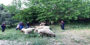 Karacasu'dan Gelip Sultanhisar'dan 32 Koyun Çalan Hırsız Jandarmadan Kaçamadı