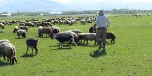 Çobanların Zorlu Ramazan Mesaisi