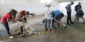 Koyun kırkarak harçlıklarını çıkarıyorlar