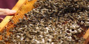 Arıların yüzde 40'ı yok olabilir