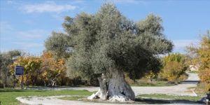 Mersin'deki tarihi zeytin ağaçları için tescil çalışması