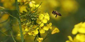 Çiftçi ilacı değiştirdi, arı ölümleri yüzde 80 azaldı