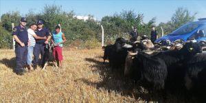 Kayıp keçiler drone ile bulundu