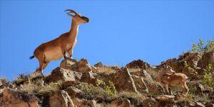 Yaban keçisi avlayanlara 26 bin lira ceza