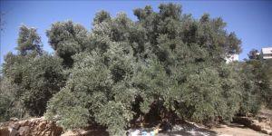Yahudi yerleşimciler Filistinlilere ait zeytin ağaçlarını kesti