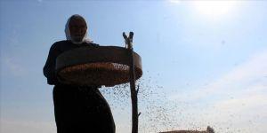 'Derviş pirinci'nde hasat zamanı