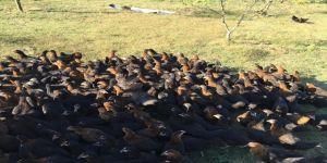 Çiftçilere yüzde  50 hibeli gezen tavuk desteği