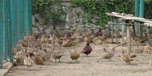 100 bin kanatlı yetiştirilerek doğaya salındı