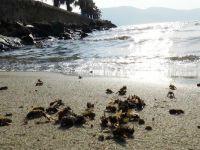 Muğla'da ilginç olay: Arılar sahile vurdu
