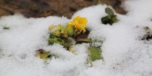 'Baharın müjdecisi' kardelen ve çiğdemler erken çiçek açtı