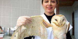 Kuş Cenneti'nde yaralı bulunan peçeli baykuşun kanadına metal pim takıldı