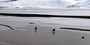Donan Çıldır Gölü'nü terk etmeyen sakar mekelerin imdadına koştular