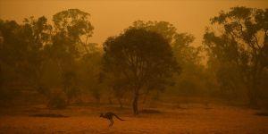 Avustralya'daki yangınlarda itfaiyeciler Wollemi çamlarını korumayı başardı