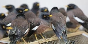 Van'da ticareti yasak 75 çiğdeci kuşu ele geçirildi