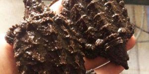 Timsah yiyen kaplumbağalar Kocaeli'ye gönderildi