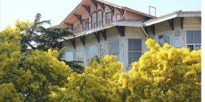 Adalar'ın simgesi mimoza ağaçlarına dokunana ceza