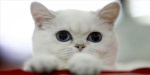 Rusya'da binden fazla kedinin yer aldığı fuar düzenlendi