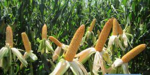 Kocaelili çiftçilere yüzde 50 hibeli tohum desteği