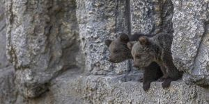 Yavru boz ayılar Tarsus Doğa Parkı'nın maskotu oldu