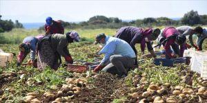 Muğla'da hasadına başlanan turfanda patates verimi ve fiyatıyla üreticisini sevindirdi