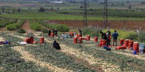 Çukurova'da,tarlalarda çalışmalar devam ediyor
