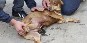 Manisa'da sokakta bulunan yavru kediye gebe köpek sahip çıktı