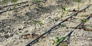 Safranbolu'nun yerli domatesi 'maniye' tohumları toprakla buluştu