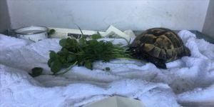 Zifte batmış halde bulunan kaplumbağa hayata döndürüldü