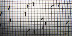 Sivrisinekleri sıtmadan koruyan 'mikrop' keşfedildi
