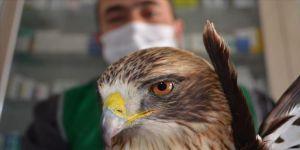 Kayseri'de kanadı kırılan şahin tedaviye alındı