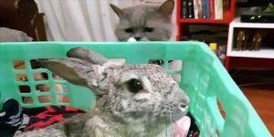 Kazada felç olan tavşan 'Badi' yürüteçle rahatça hareket edecek